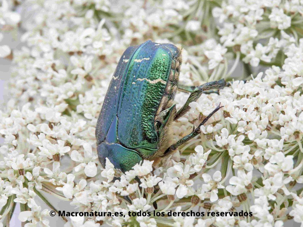 Escarabajo Verde Metálico Cetonia aurata en una flor de zanahoria silvestre