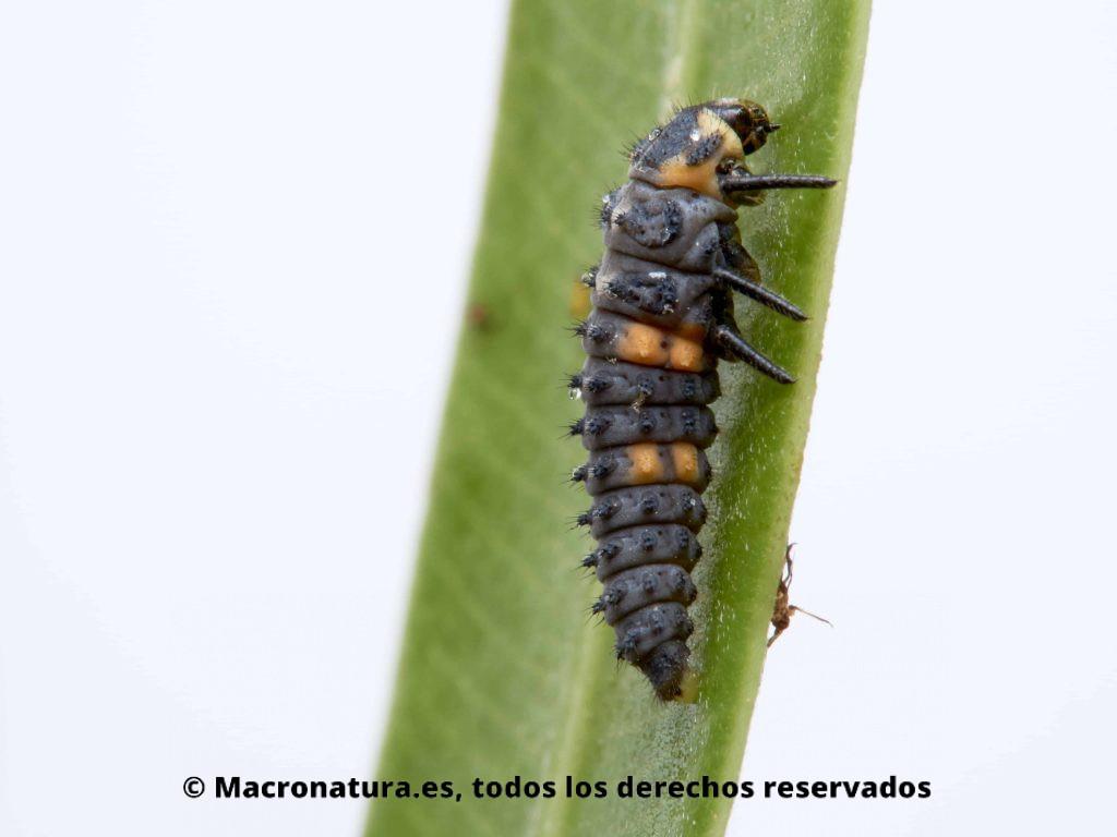 Larva de Mariquita de siete puntos Coccinella septempunctata sobre una hoja de adelfa