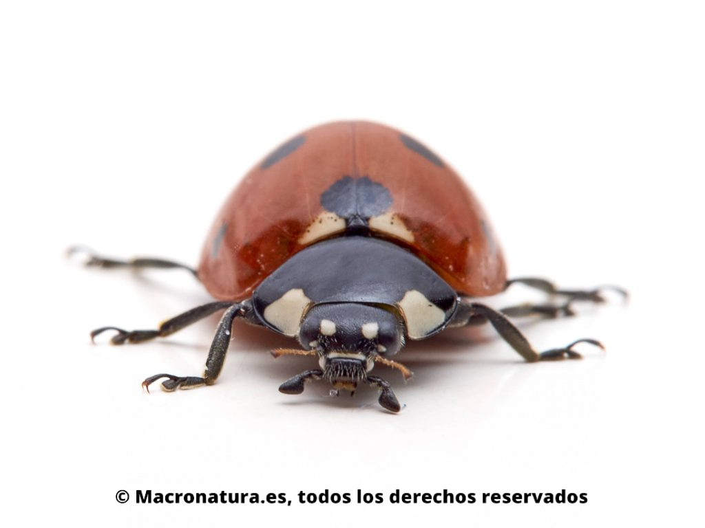 Mariquita de siete puntos Coccinella septempunctata de frente