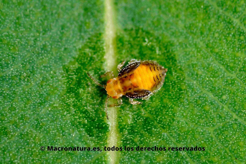 Psílido rojo del eucalipto Glycaspis briblecombei en fase ninfa