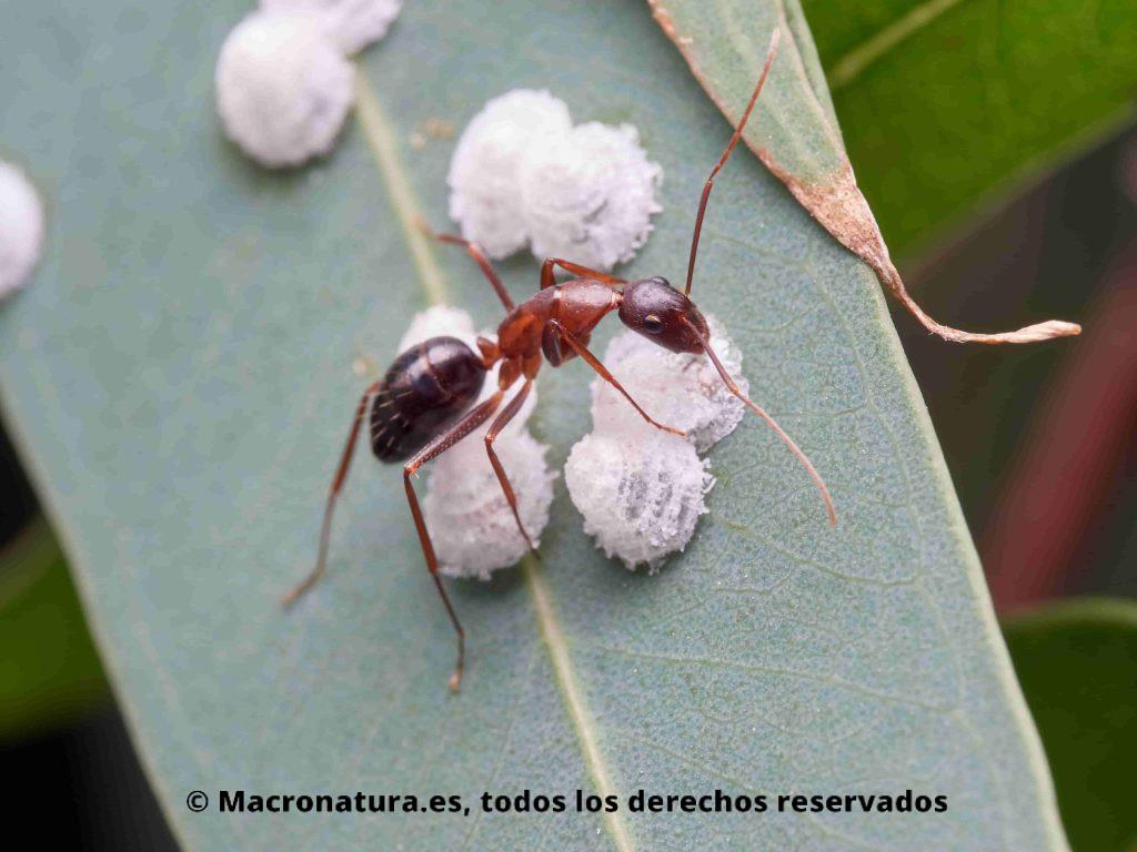 Hormiga alimentándose de la melaza del Psílido rojo del eucalipto Glycaspis briblecombei