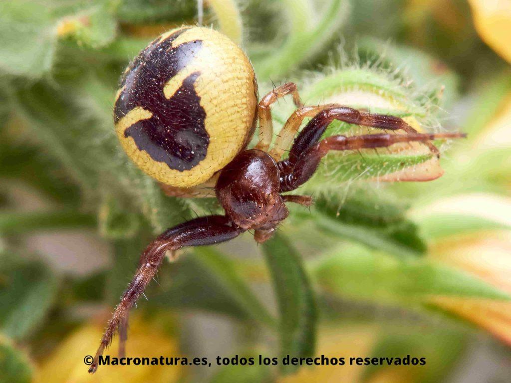 Araña Napoleón Synema globosum sobre una planta, Ononis natrix