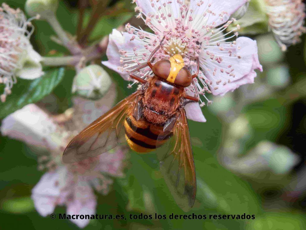 Mosca de las flores Volucella zonaria sobre una flor de una zarza