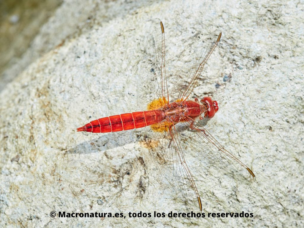 Libélula roja Crocothemis erythraea sobre una piedra. Vista cenital