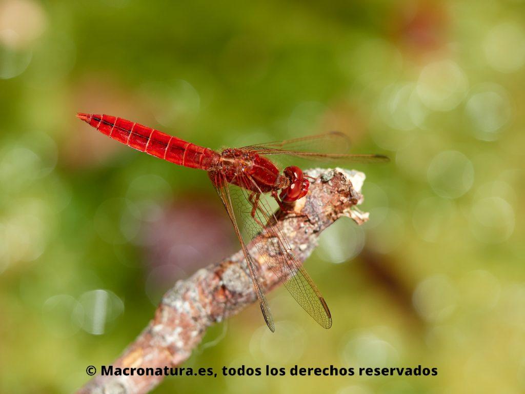 Libélula roja Crocothemis erythraea sobre una percha o tallo
