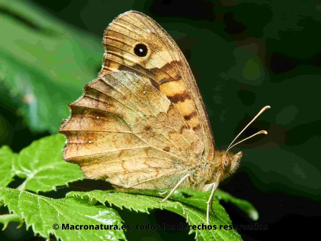 Mariposa Maculada Pararge aegeria lateral sobre una hoja de zarza. Se observa ocelo negro con un punto blanco