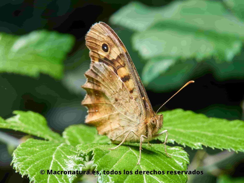 Mariposa Maculada Pararge aegeria lateral sobre una hoja de zarza
