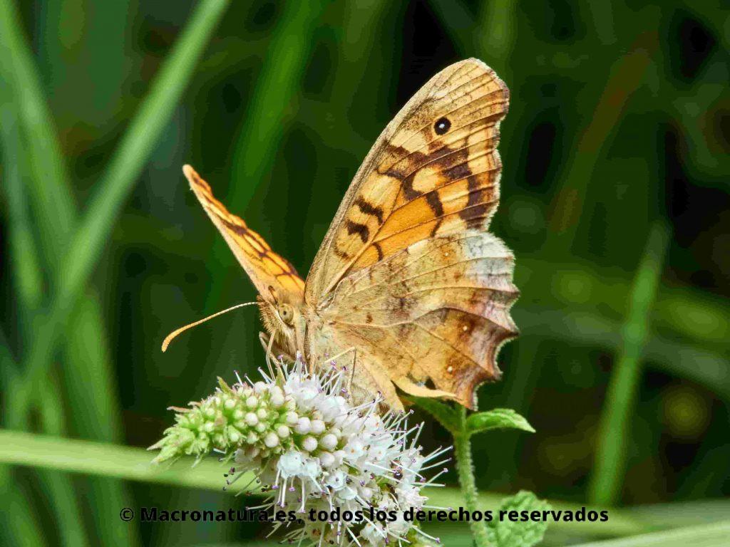 Mariposa Maculada Pararge aegeria lateral sobre una flor, libando