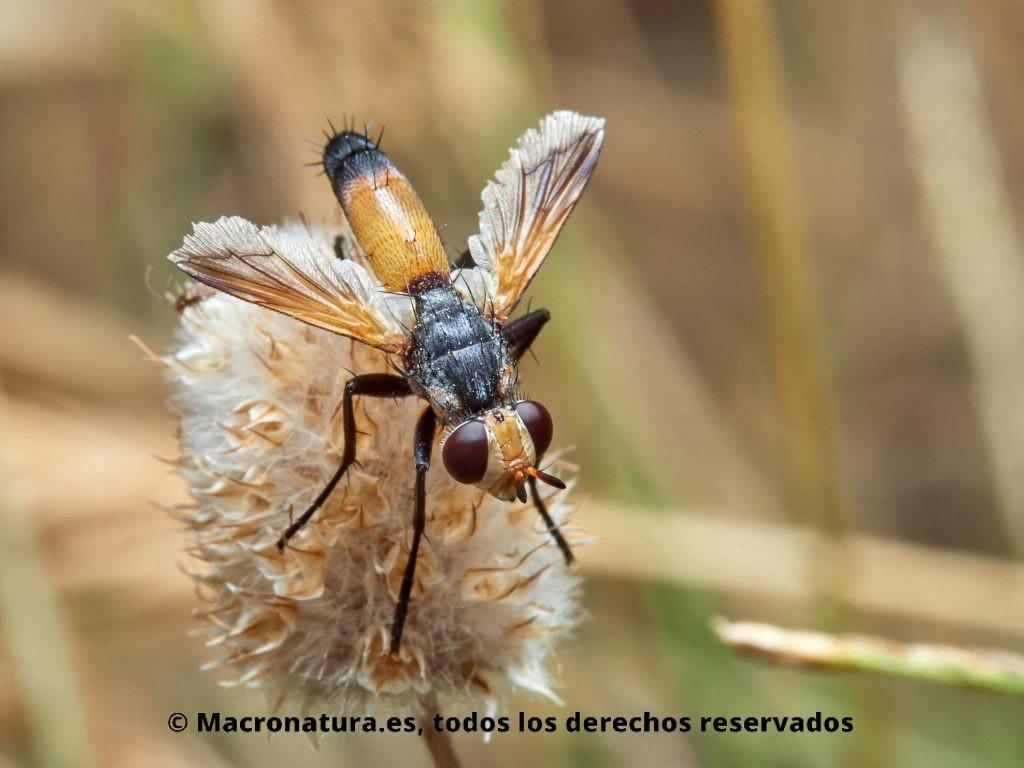 Moscas del género Cylindromyia sobre una flor seca