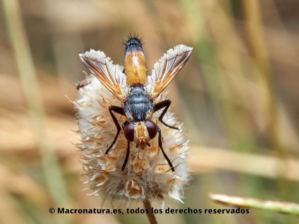 Moscas del género Cylindromyia vista central
