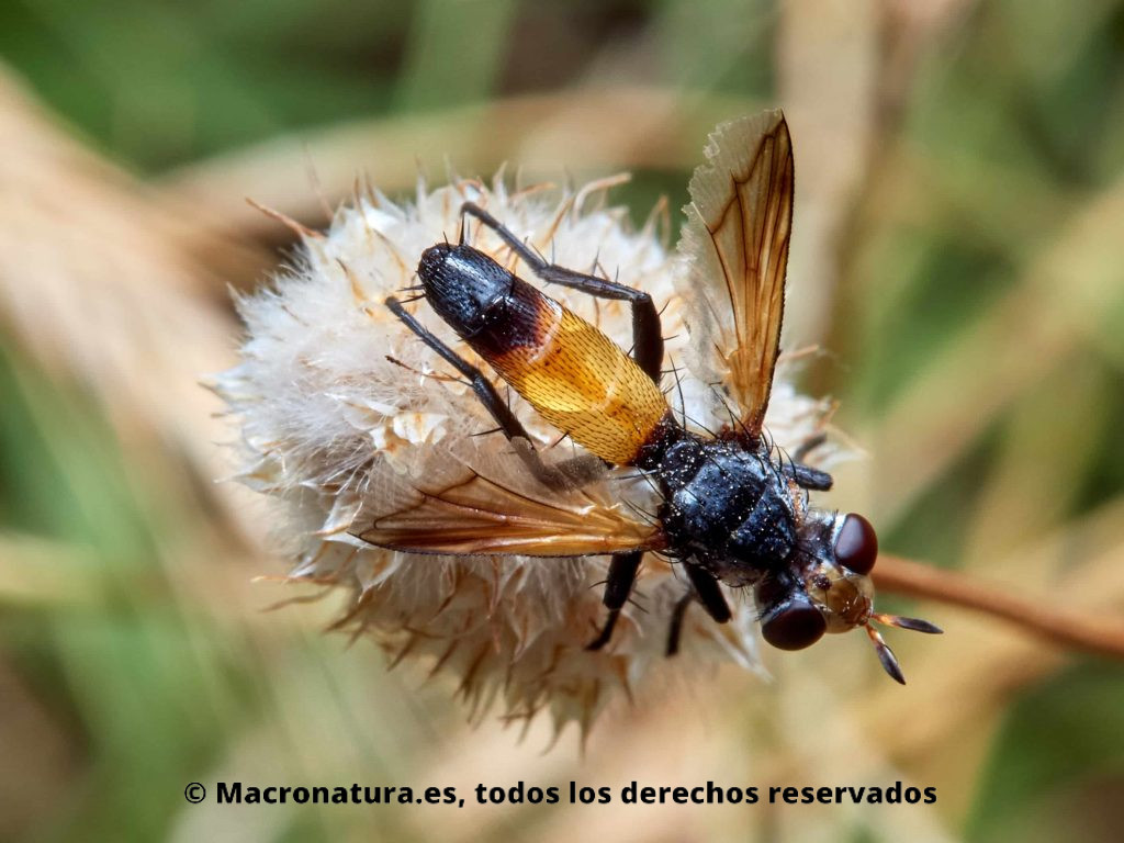 Moscas del género Cylindromyia vista cenital