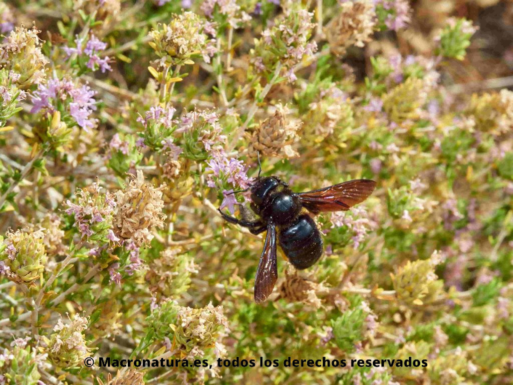 Abejorro negro género Xylocopa sobre una flor recolectando néctar