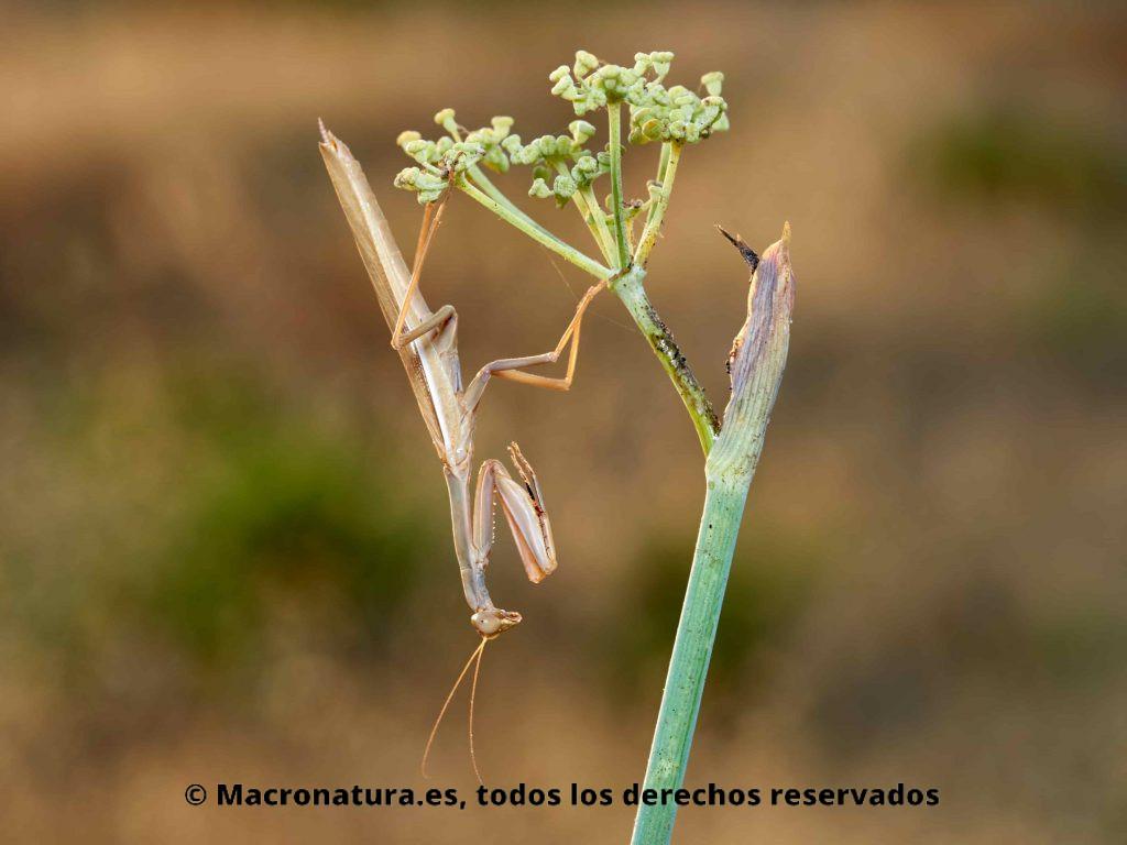 Mantis Mediterránea Iris oratoria boca abajo sobre un hinojo. Macho.