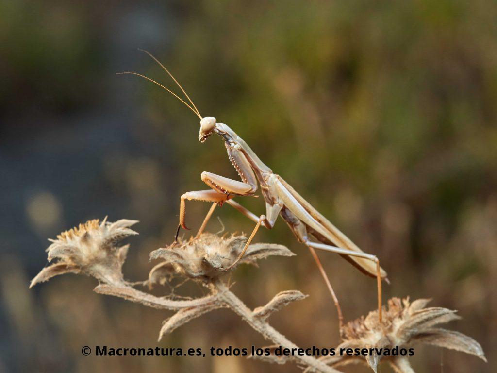 Mantis Mediterránea Iris oratoria sobre una planta seca. Macho.