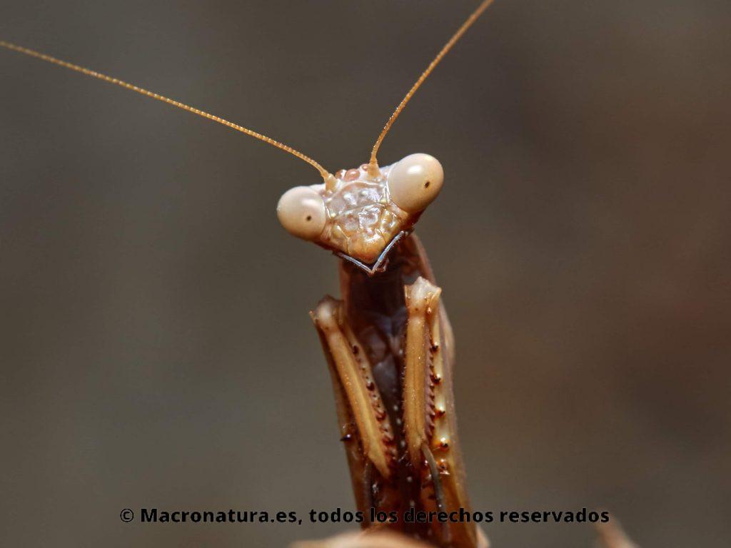Primer plano de un a Mantis Mediterránea Iris oratoria. tubérculos redondos pequeños en el frontal de la cabeza (esclerita frontal). Macho.