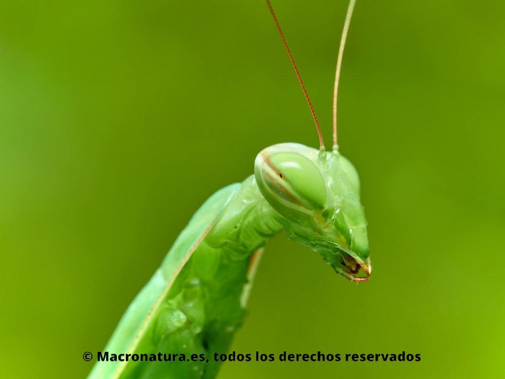 Retrato de una Mantis europea Mantis religiosa sobre un fondo verde