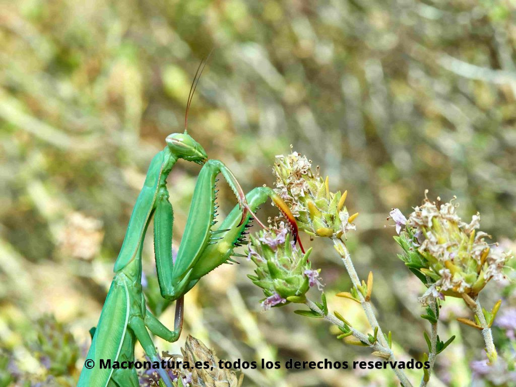 Mantis europea Mantis religiosa sobre la vegetación