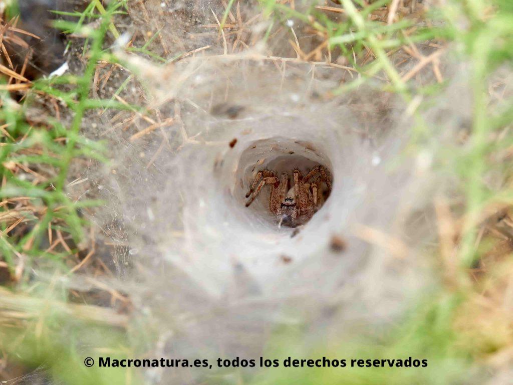 Arañas de túnel género Agelena en su refugio