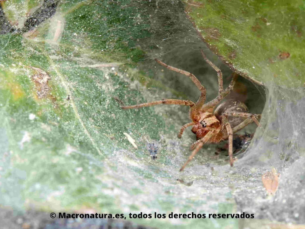 Arañas de túnel género Agelena en su refugio en forma de embudo