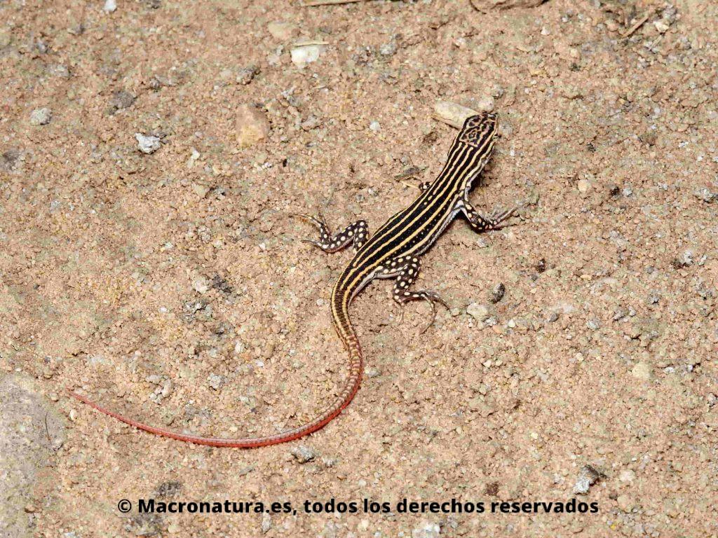 Lagartija colirroja Acanthodactylus erythrurus en zona de tierra suelta
