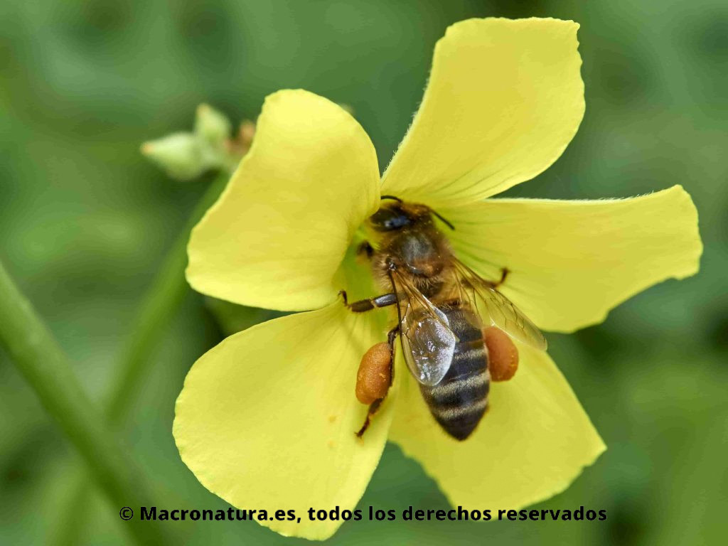 Abeja europea Apis mellifera recolectando polen de una flor de vinagreta. Patas cargadas de polen.