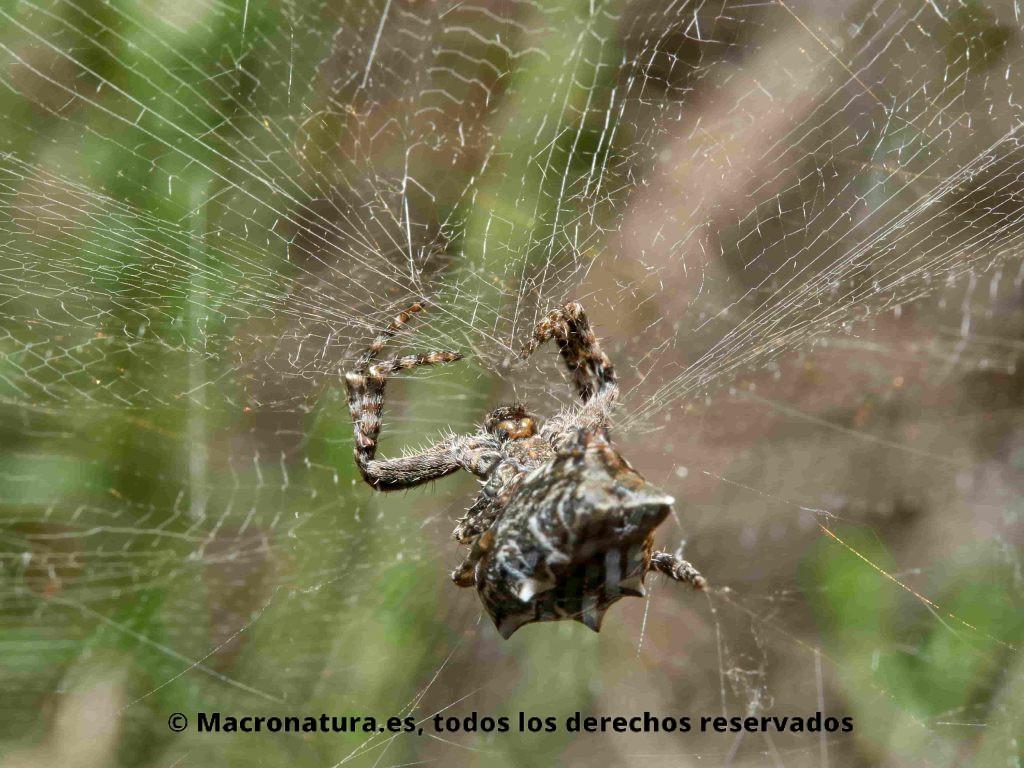 Detalle de tela de araña de una Araña de las chumberas Cyrtophora citricola