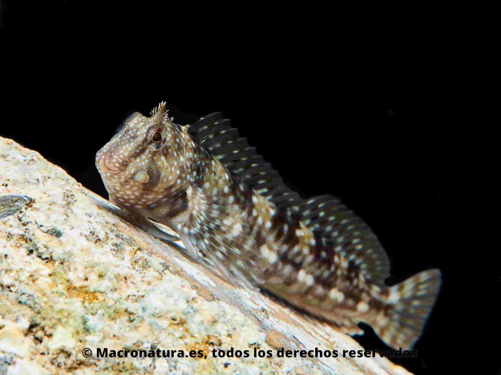Blenio Coryphoblennius galerita, vista lateral sobre una roca y un fondo negro