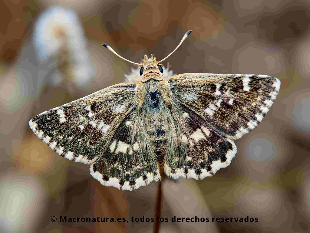 Mariposa Polvillo dorado Sloperia proto, vista cenital, con las alas extendidas