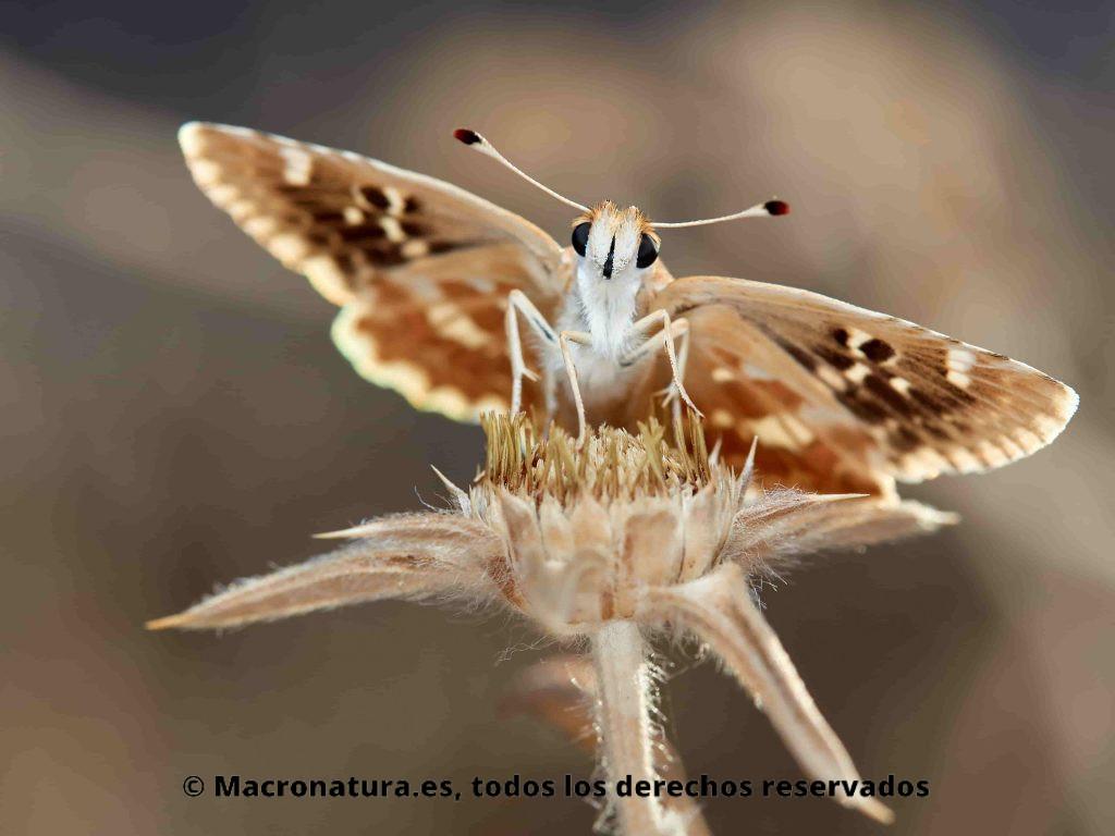 Mariposa Polvillo dorado Sloperia proto, vista frontal, detalle de ojos y antenas