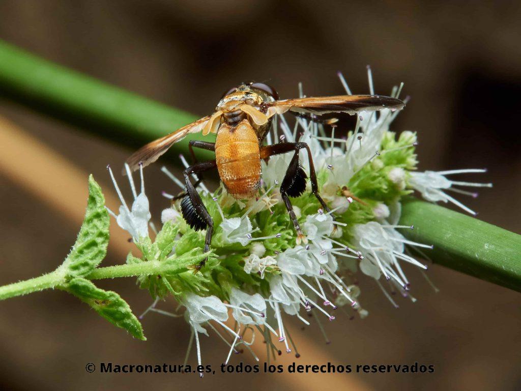 Mosca Trichopoda pennipes, detalle de patas