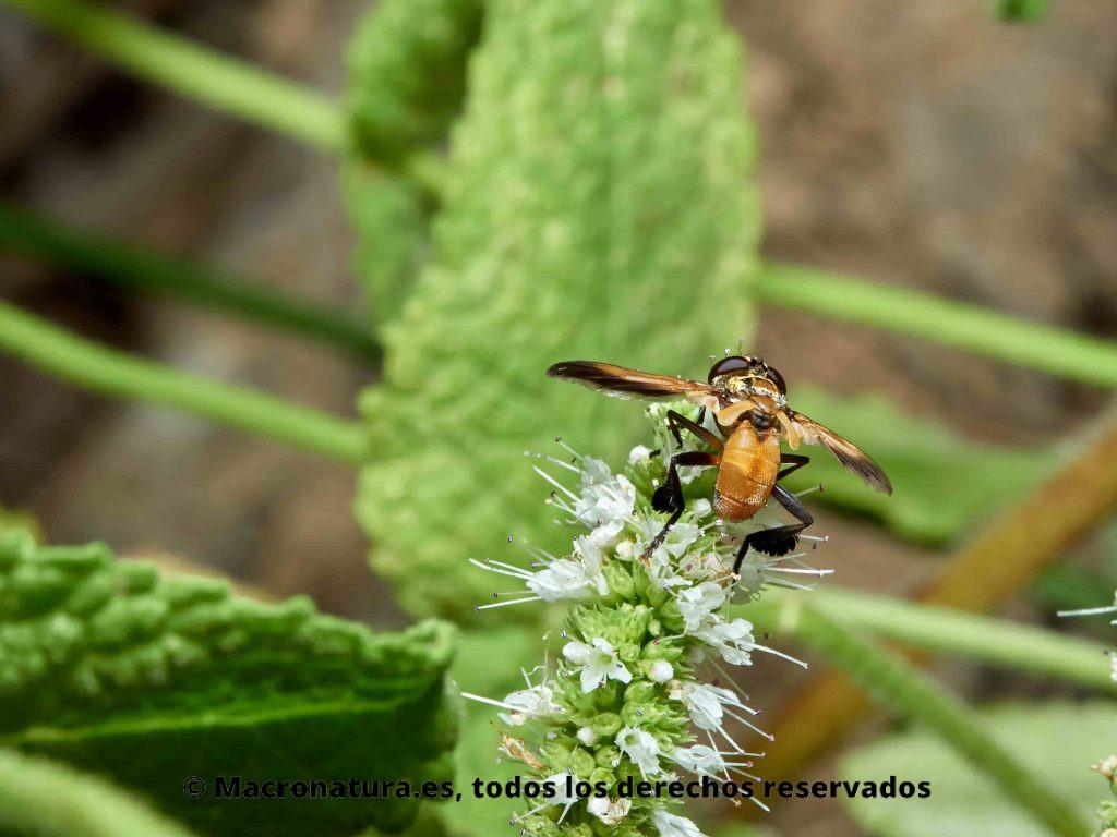 Mosca Trichopoda pennipes sobre flores alimentándose de néctar
