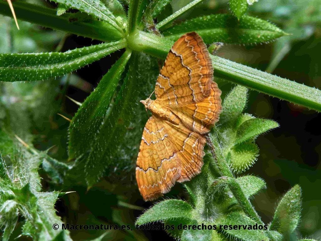 Polilla Camptogramma bilineata sobre una planta verde. Se observa las cuatro alas dispuestas en horizontal y las líneas onduladas.