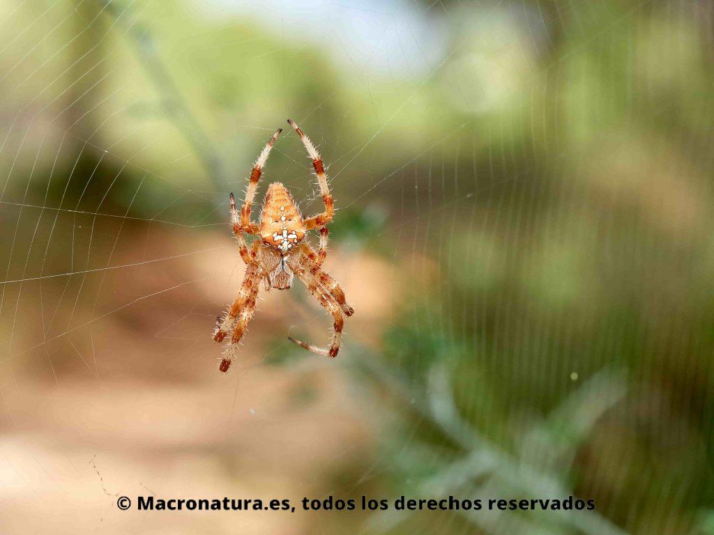 Araña de Jardín Europea Araneus diadematus o araña de la cruz, sobre su tela de araña en un fondo difuminado