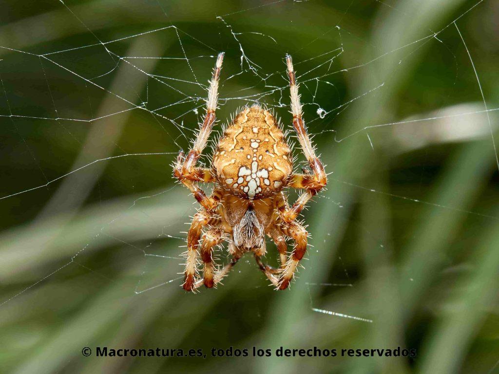 Araña de Jardín Europea Araneus diadematus o araña de la cruz, sobre su tela de araña