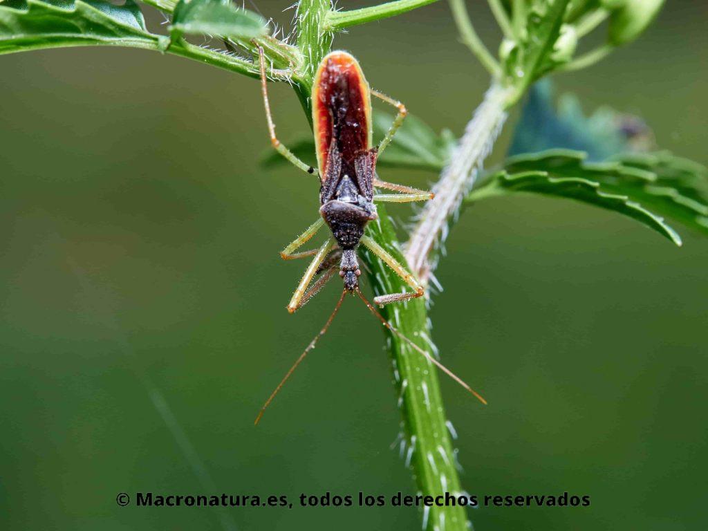 Chinche Asesina Norteamericana Zelus renardii sobre una planta. Vista cenital.