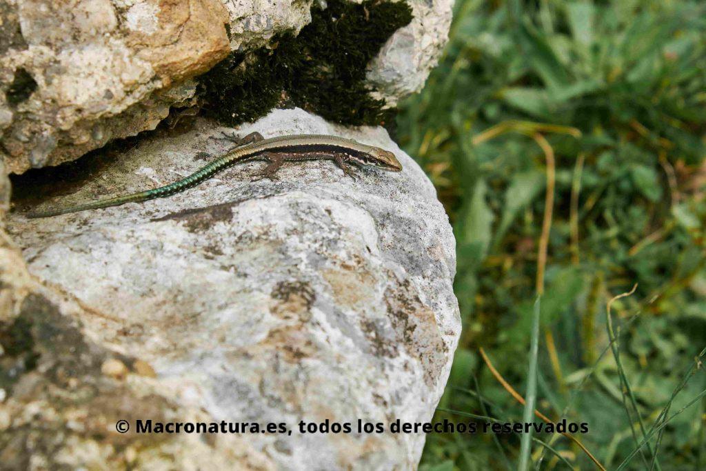 Lagartija serrana Iberolacerta, ejemplar joven. En una roca en Lagos de Covadonga
