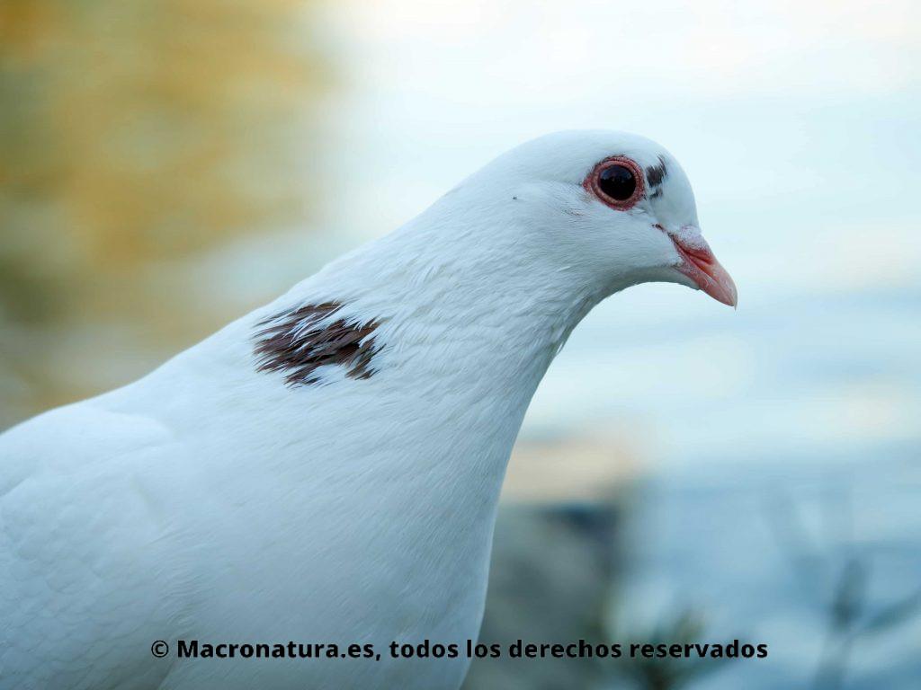 Palomas doméstica Columba livia blanca