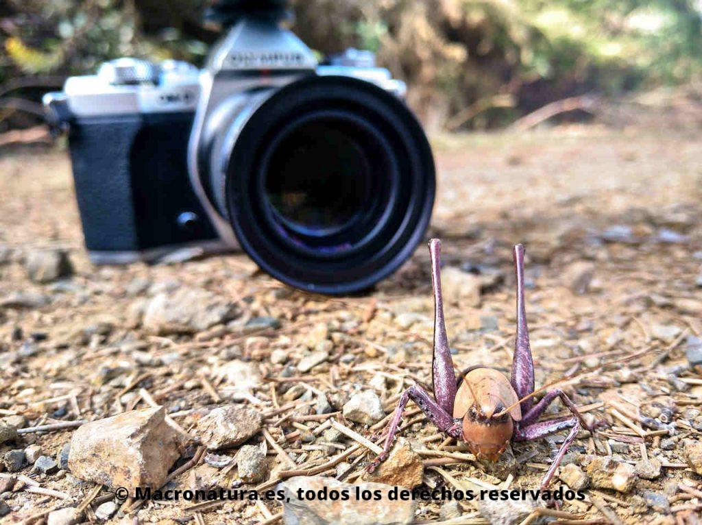 Un saltamontes en primer plano y de fondo una cámara de fotos para macrofotografía. Guía para fotografiar insectos