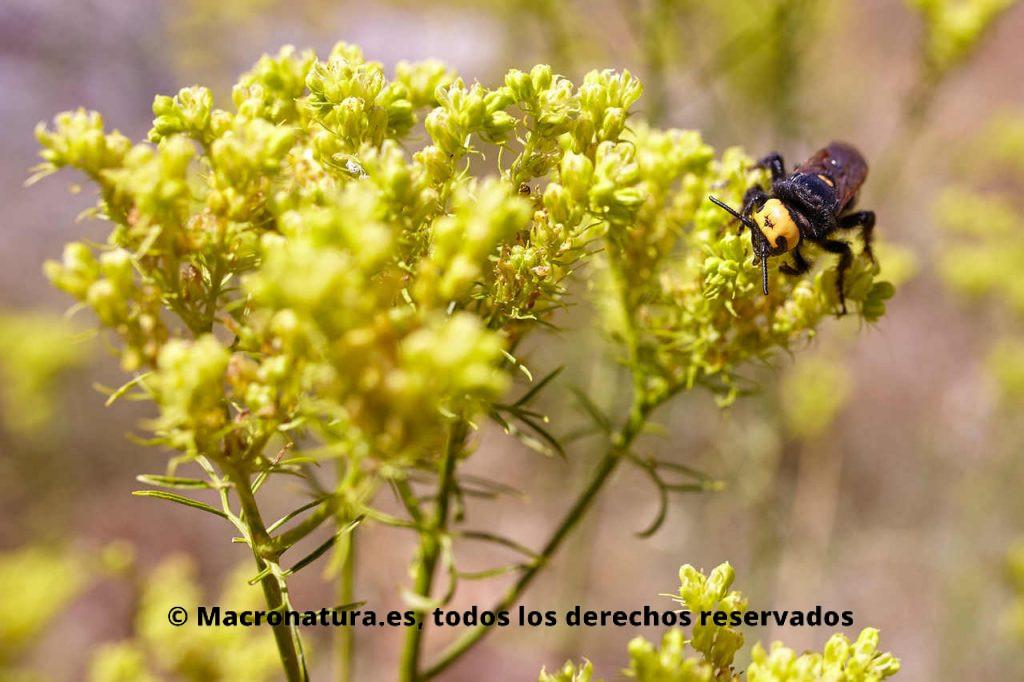 Avispa Mamut Megascolia maculata sobre flores recolectando néctar. Vista frontal con cuatro puntos amarillos