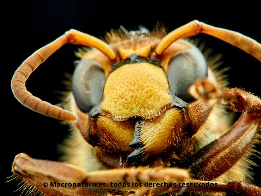 Avispón Europeo Vespa crabro. Detalle de mandíbulas.