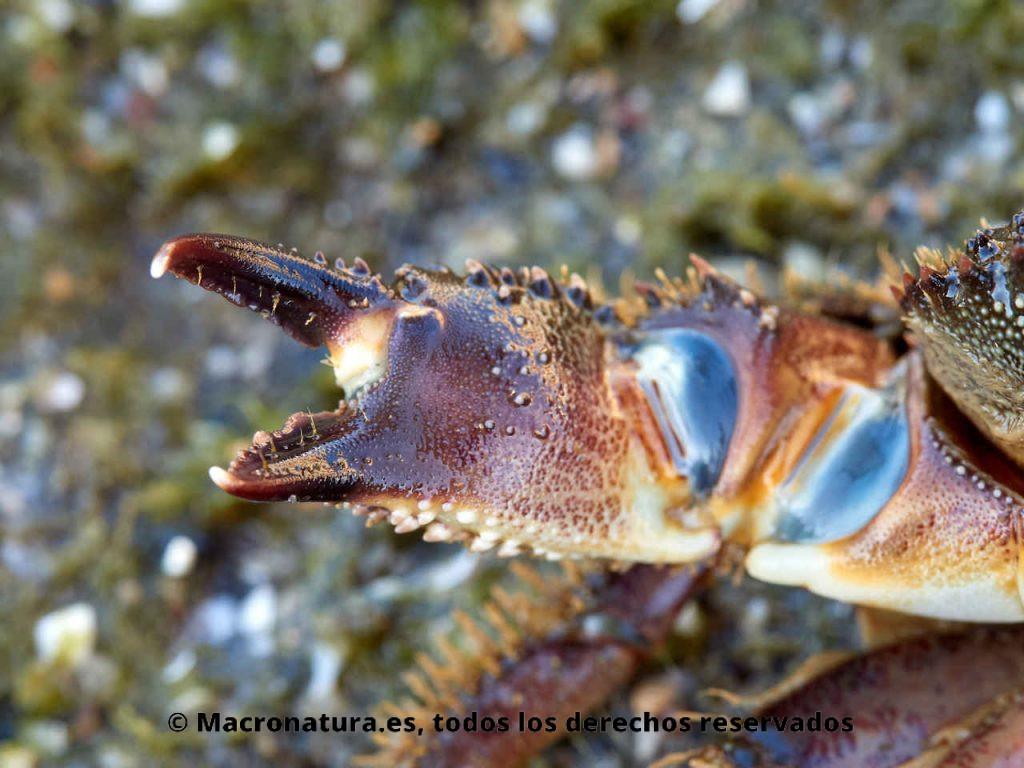Cangrejo moruno Eriphia verrucosa detalle de pinza