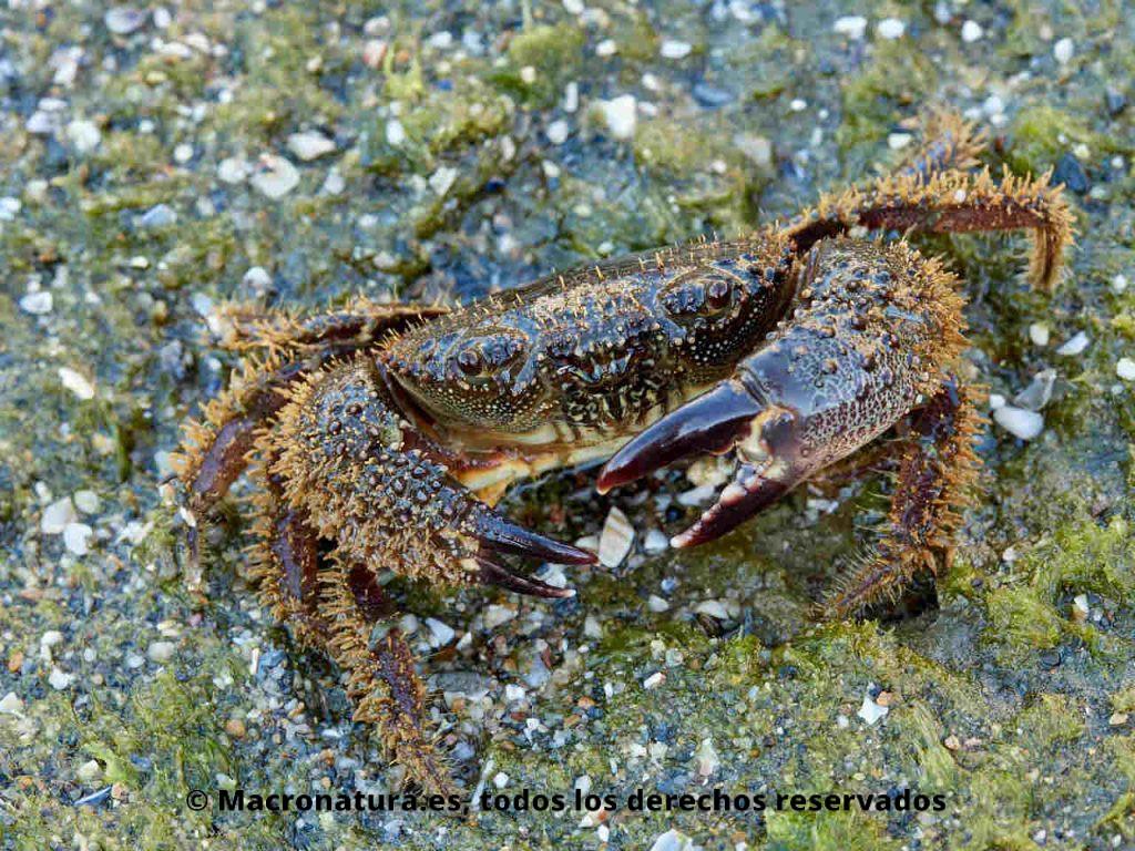 Cangrejo moruno Eriphia verrucosa sobre una roca con algas