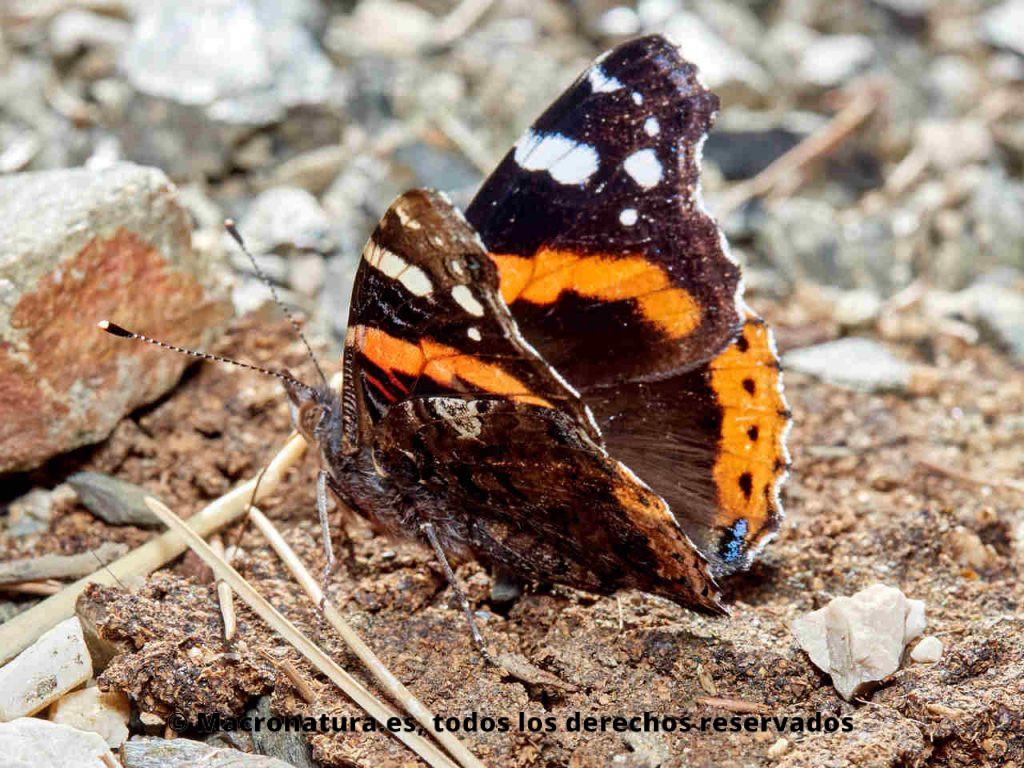 Mariposa Atalanta Vanessa atalanta vista lateral de las alas