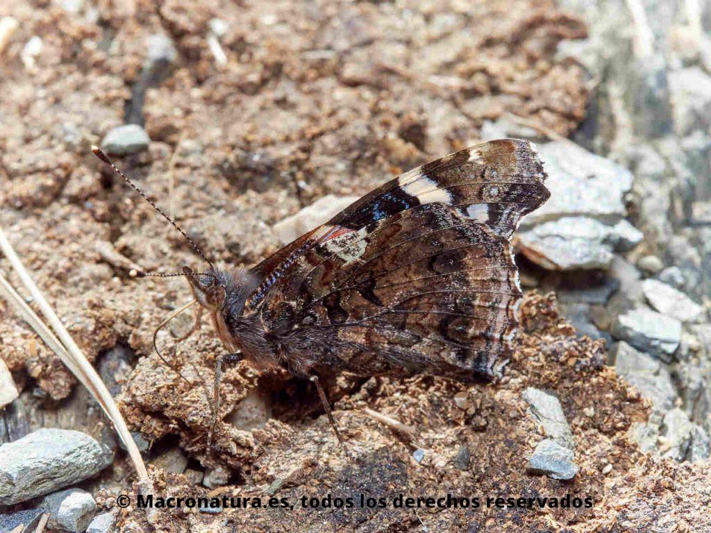 Mariposa Atalanta Vanessa atalanta vista lateral.