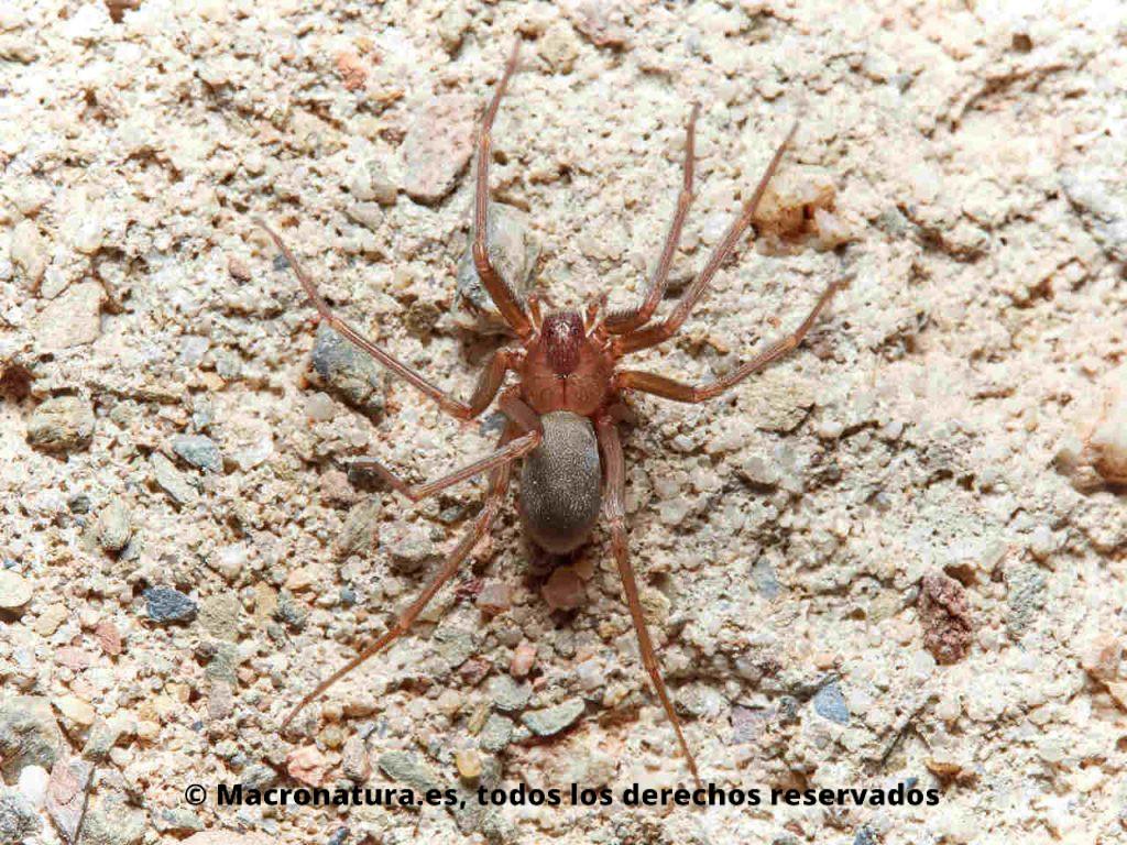 Vista cenital de Araña violista Loxosceles rufescens