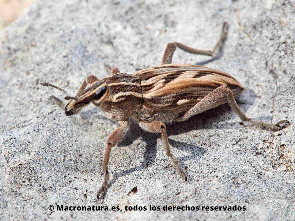 Gorgojo de los cardos Coniocleonus nigrosuturatus sobre una piedra. Vista lateral