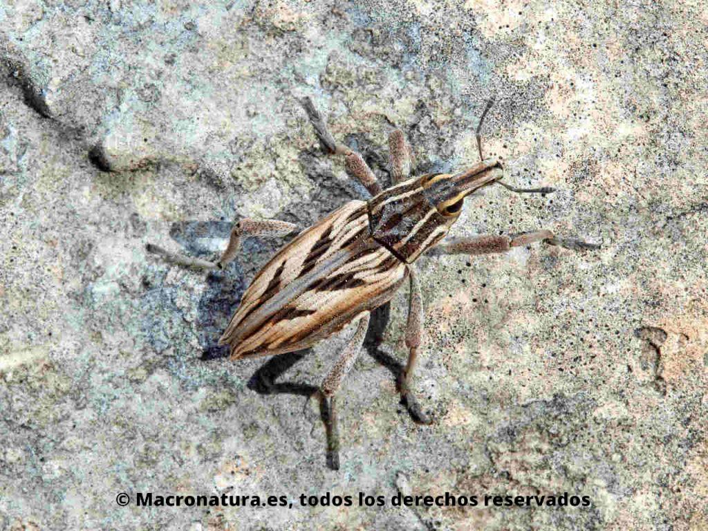 Gorgojo de los cardos Coniocleonus nigrosuturatus sobre una piedra. Vista frontal cenital