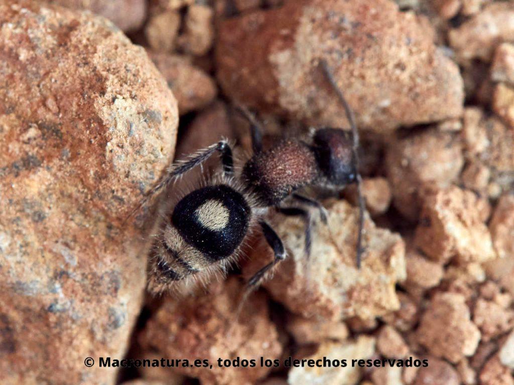 Hormiga de terciopelo Sigilla dorsata sobre una piedras. Detalle mancha circular.
