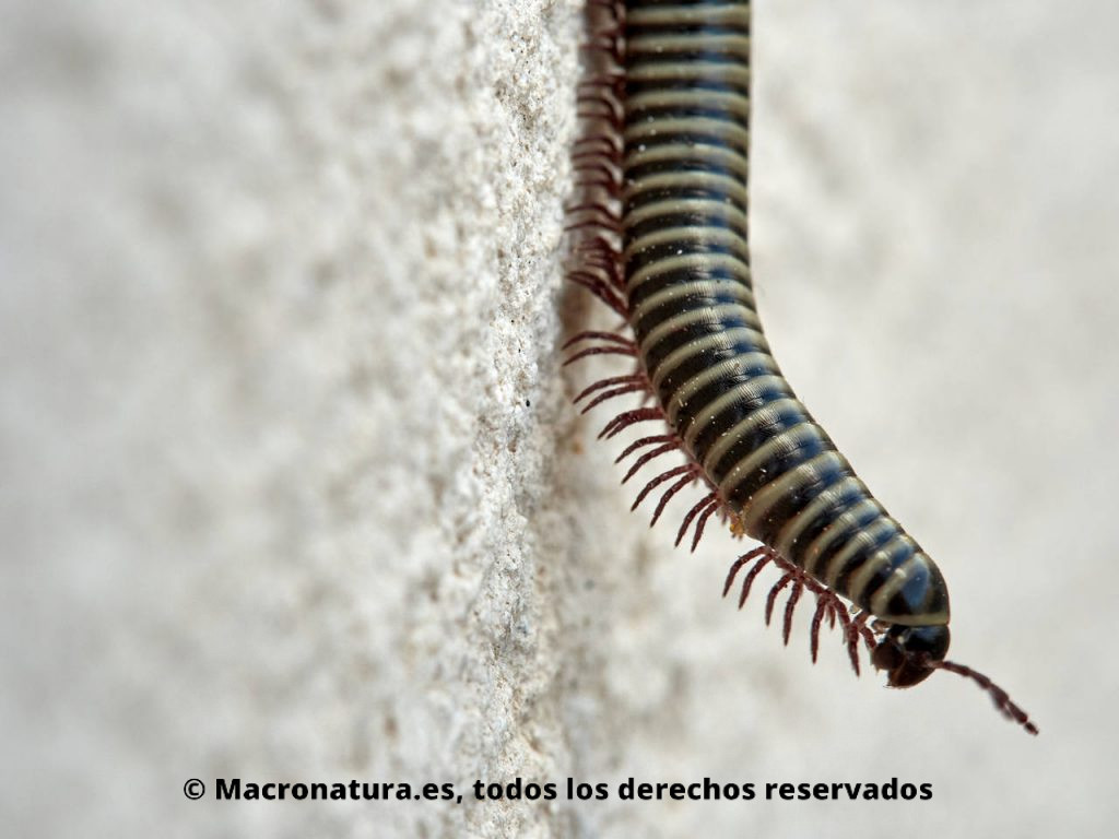 Milpiés género Ommatoiulus sobre una pared. Parte delantera levantada. Séptimo par de patas modificado.