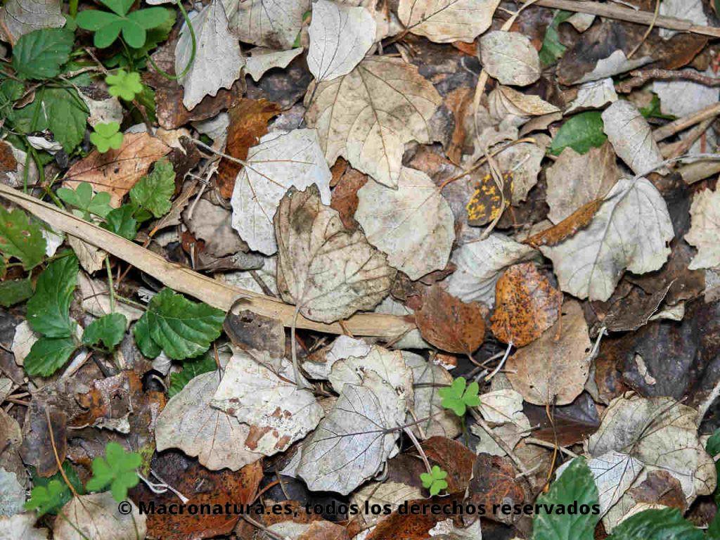 Hojarasca donde el Milpiés género Ommatoiulus se alimenta y transforma.